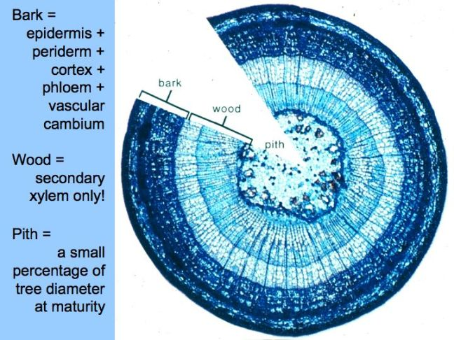 tree-cross-section